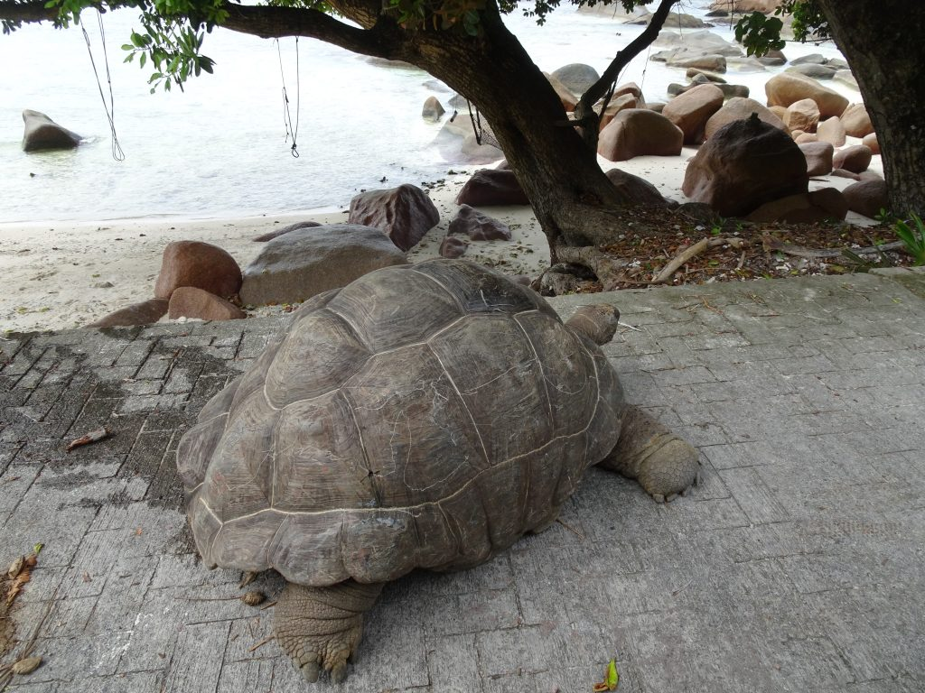 Tortoise at La Digue beach