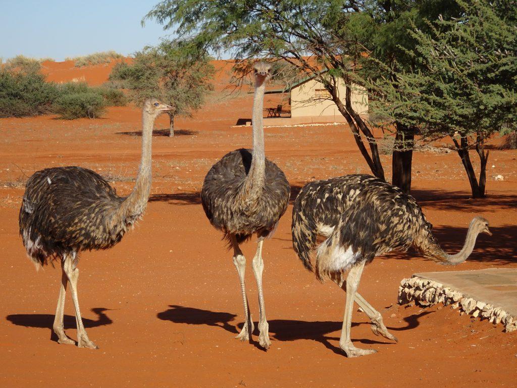 Ostrich at Bagatelle