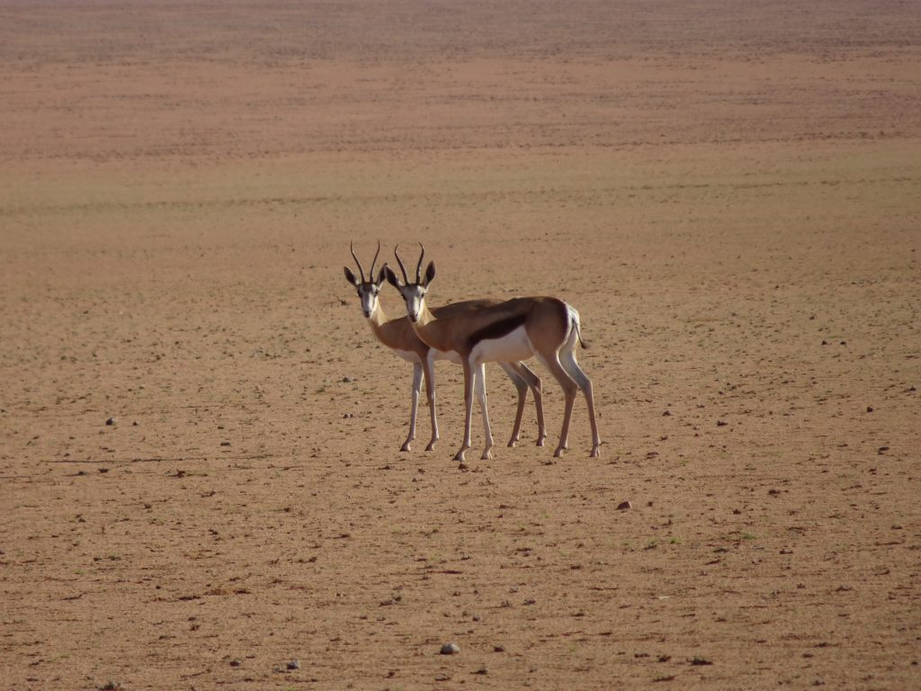 Steinbok in Namibia