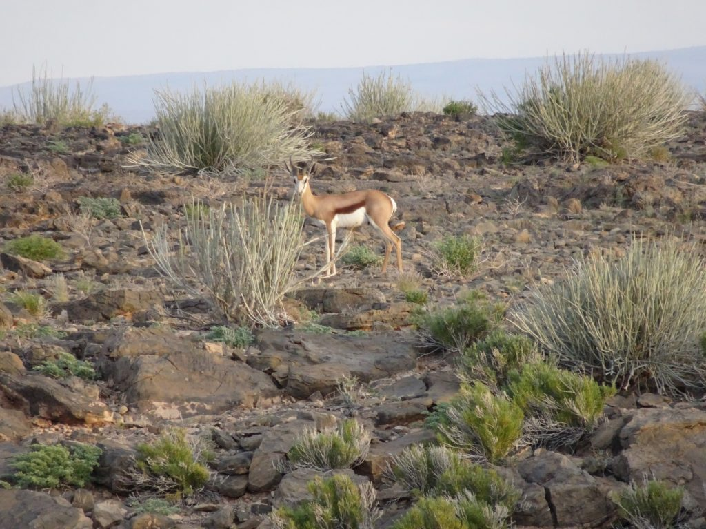 springbok at Fish River Lodge