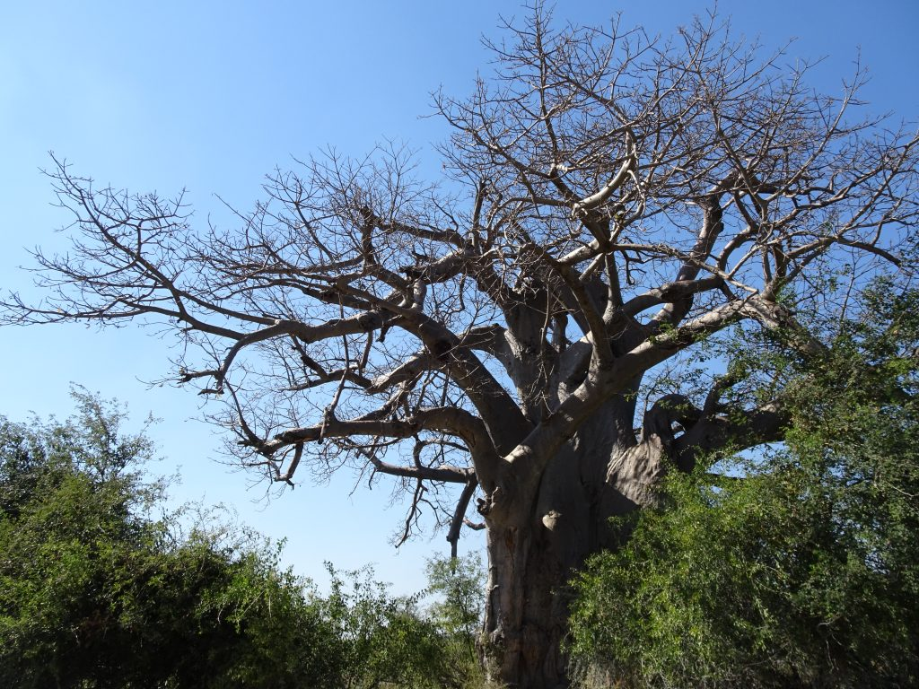 Baobab tree in Mahango - 2 weeks in Namibia