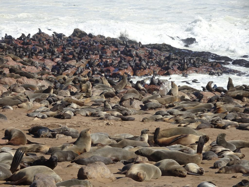 Cape Cross Seal reserve in Skeleton Coast in Namibia