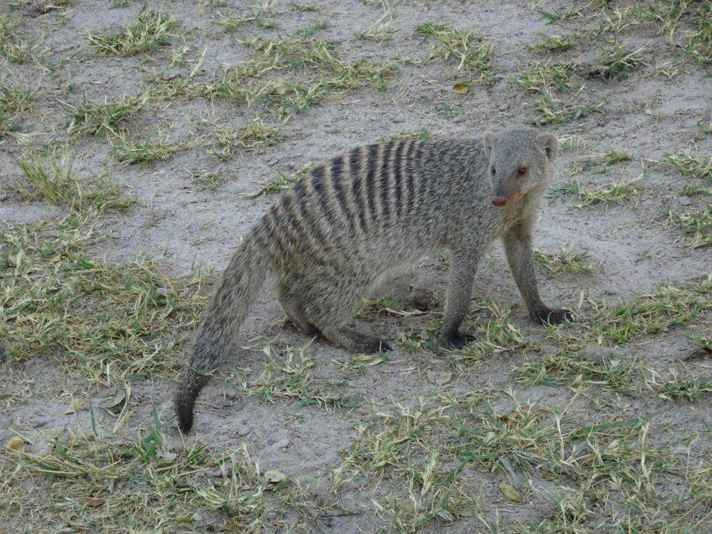 Dwarf Mongoose in Etosha