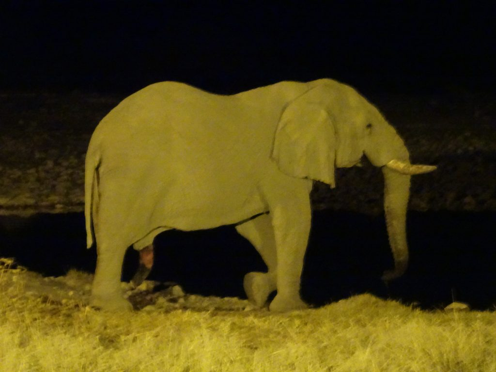 Elephant at Okaukuejo