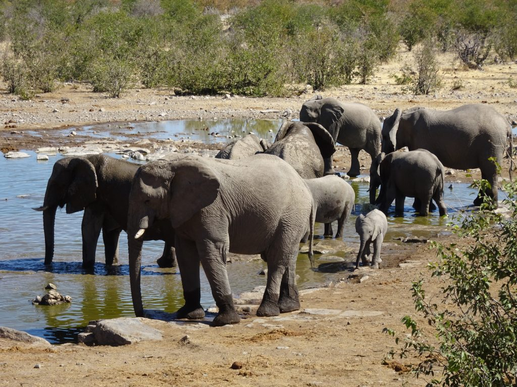 Elephants at Halali Waterhole