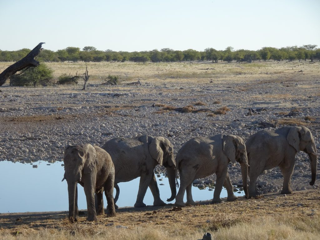 Elephants at Okaukuejo Camp