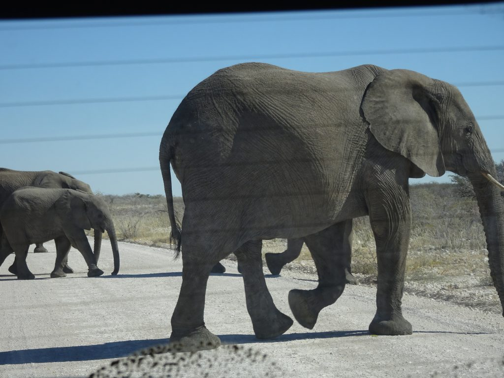 Elephants crossing the road behind our car in Etosha