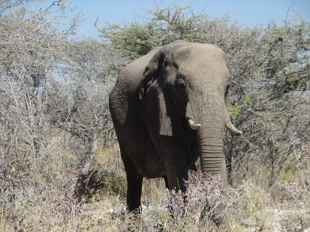 Elephants near Halali at Etosha