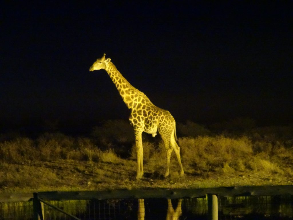 Giraffe at Onguma - 2 weeks in Namibia