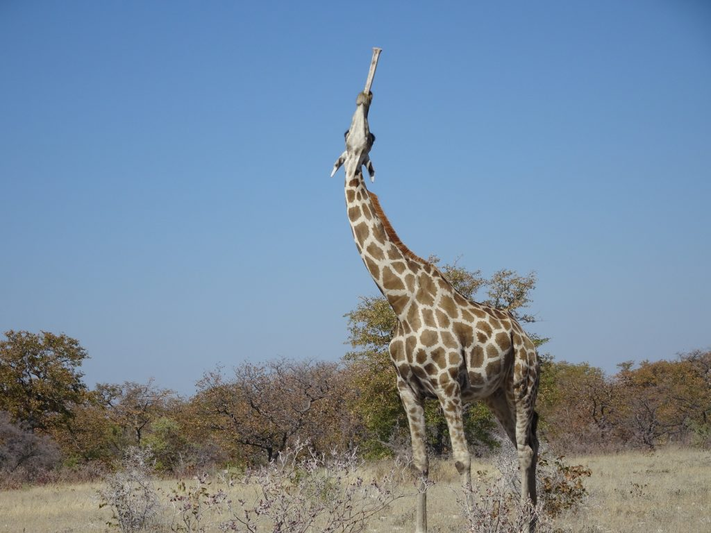Giraffe eating a bone at Etosha
