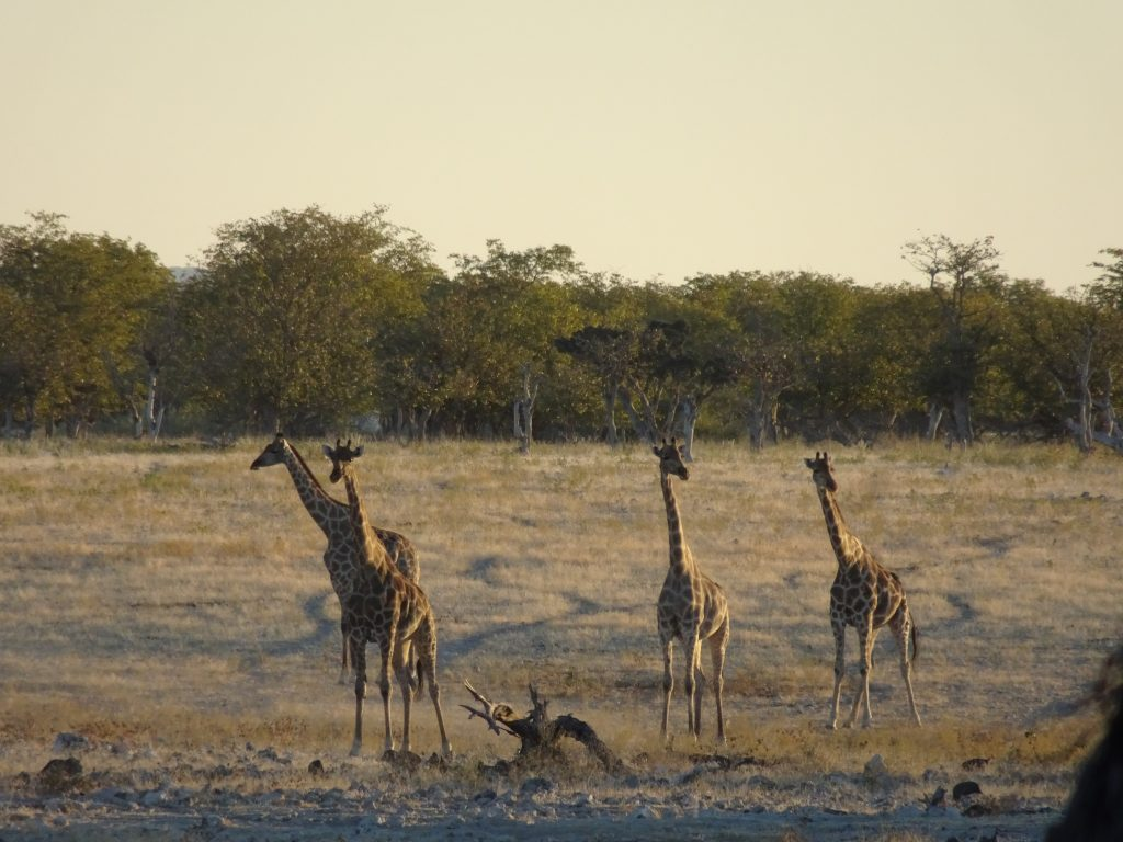 Giraffes at Okaukuejo