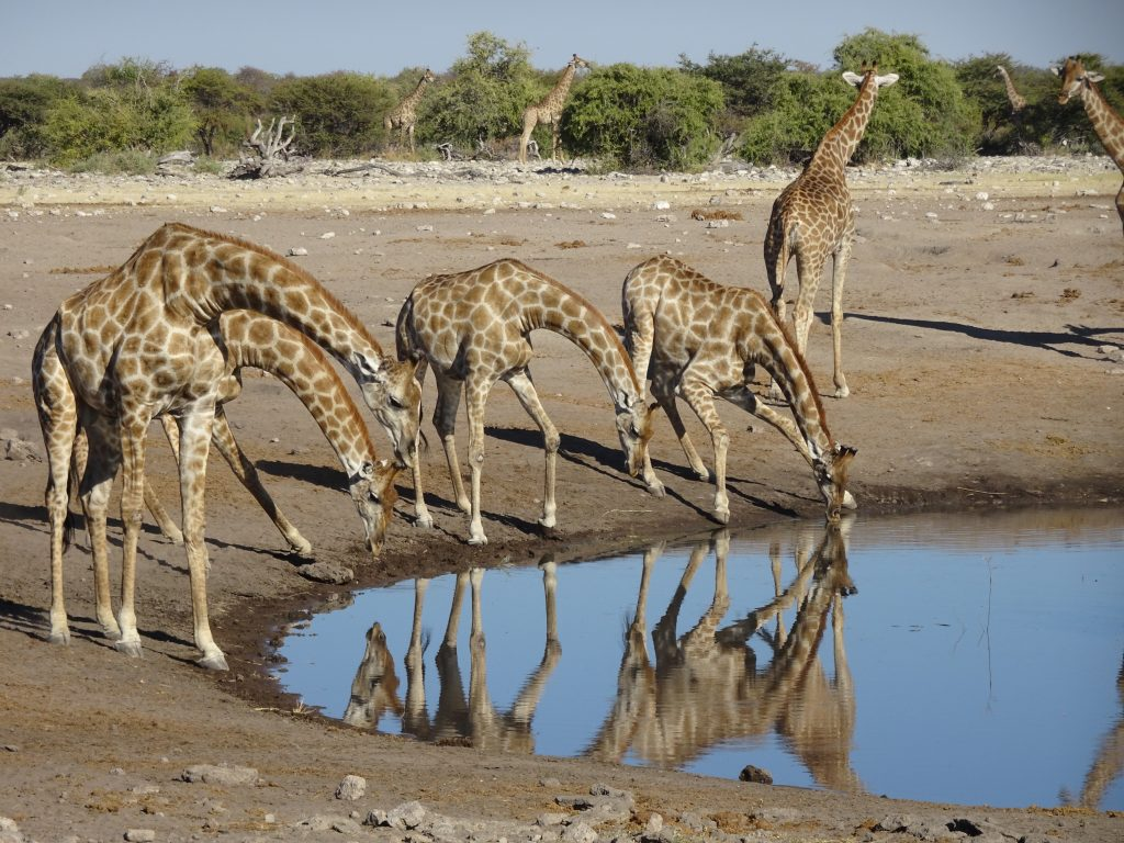 Giraffes drinking water in Eosha Park