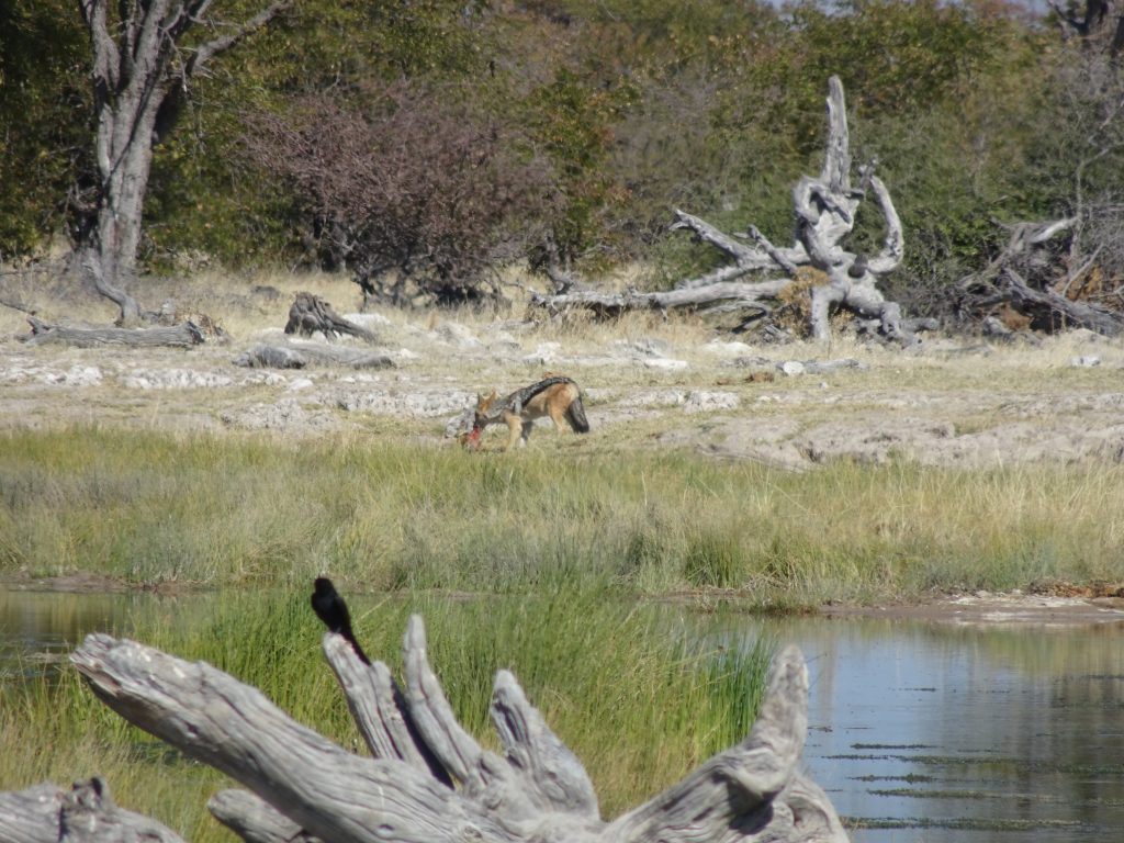 Jackal eating meat in Etosha - 2 Weeks in Namibia