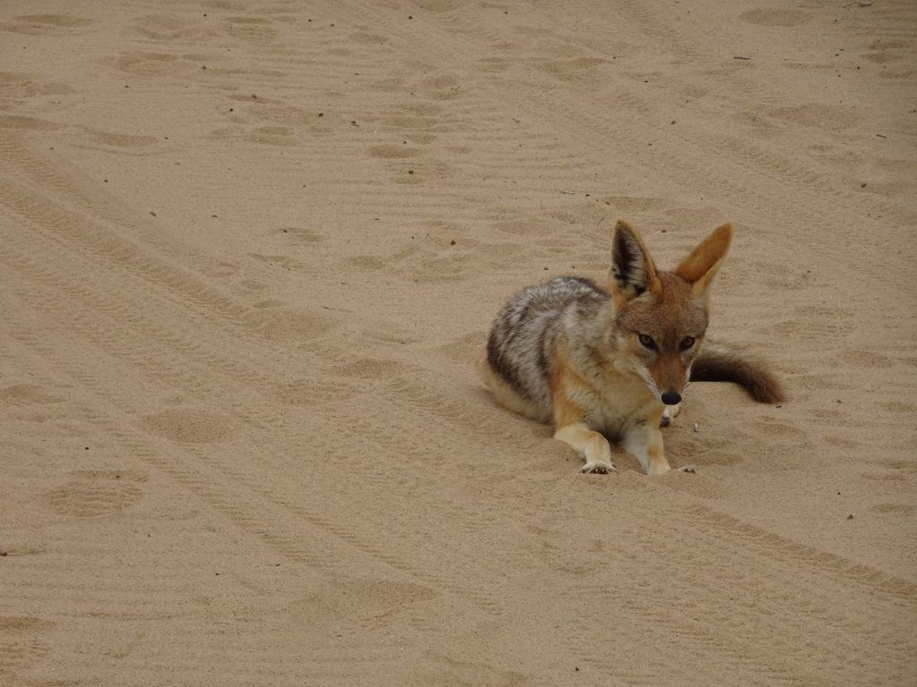 Jackal in Walvis Bay