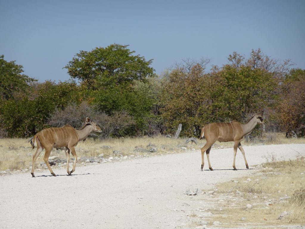 Kudus crossing the road in Etosha