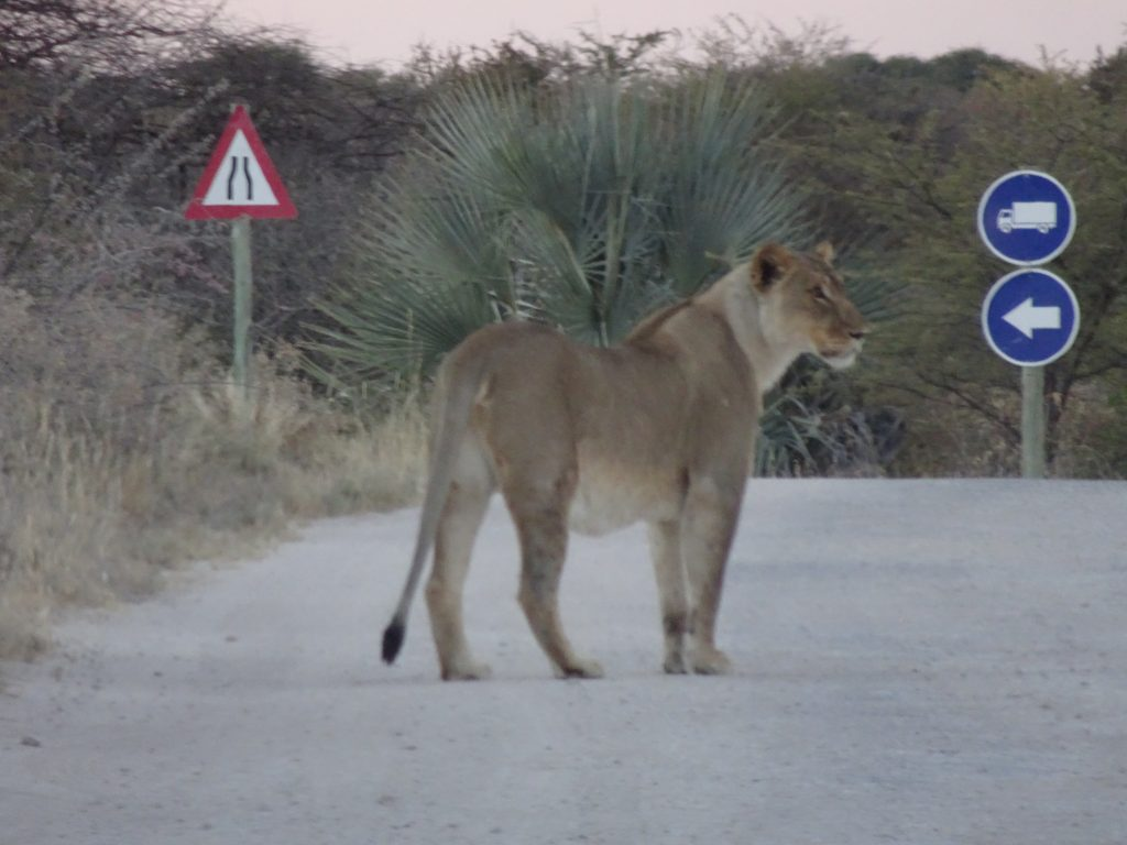 Lion at Onguma - 2 weeks in Namibia