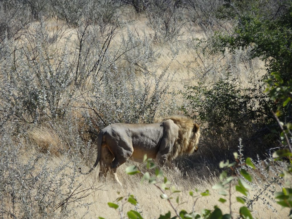 Lion in Etosha National Park