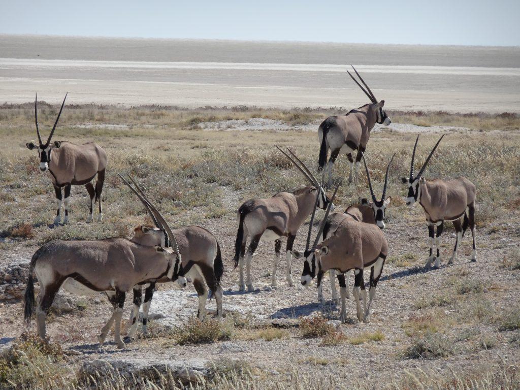 Oryx in Etosha in Namibia