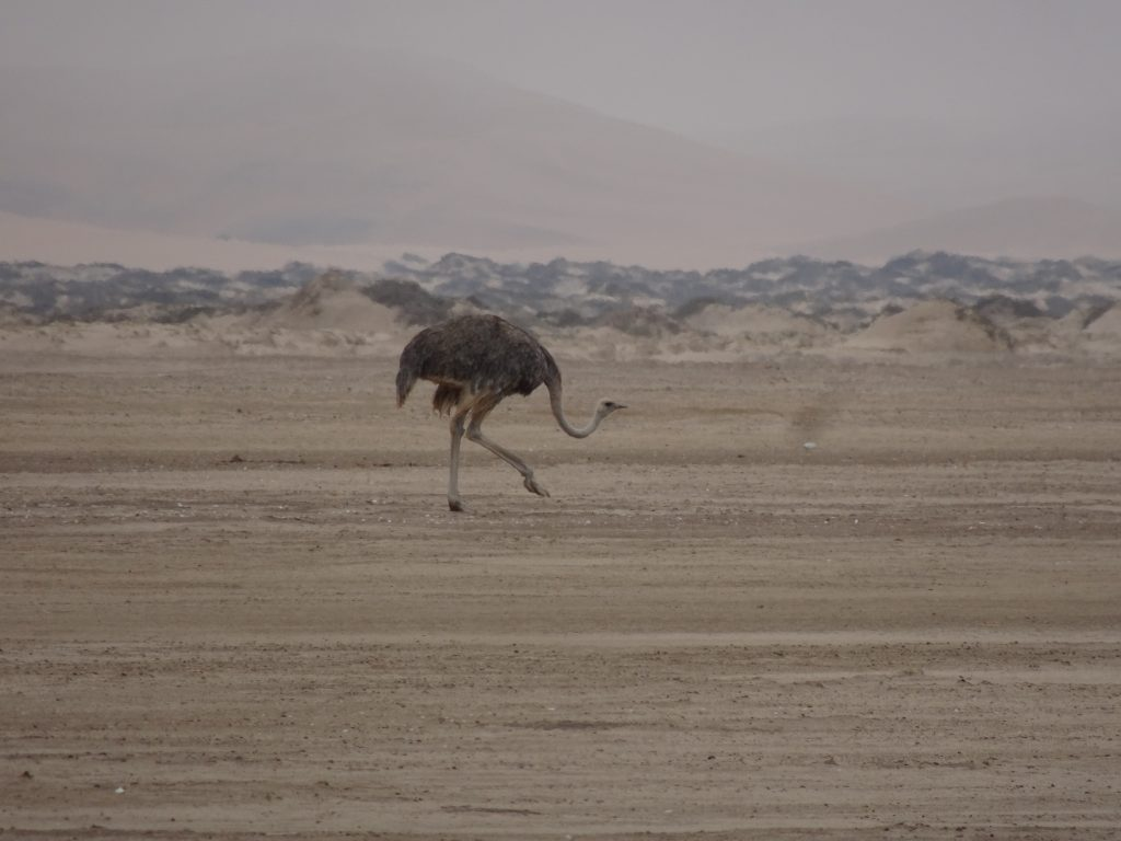 Ostrich in Walvis Bay