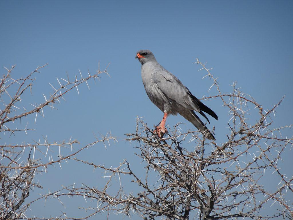 Pale chanting goshawk in Etosha