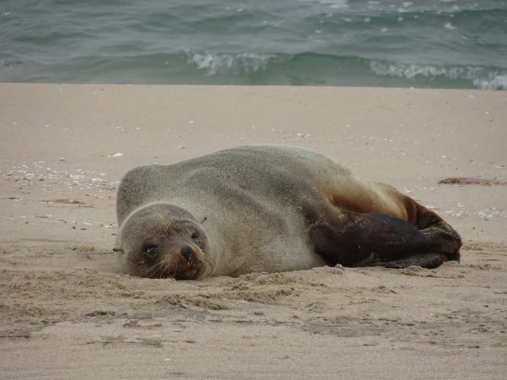 Seal in Walvis Bay