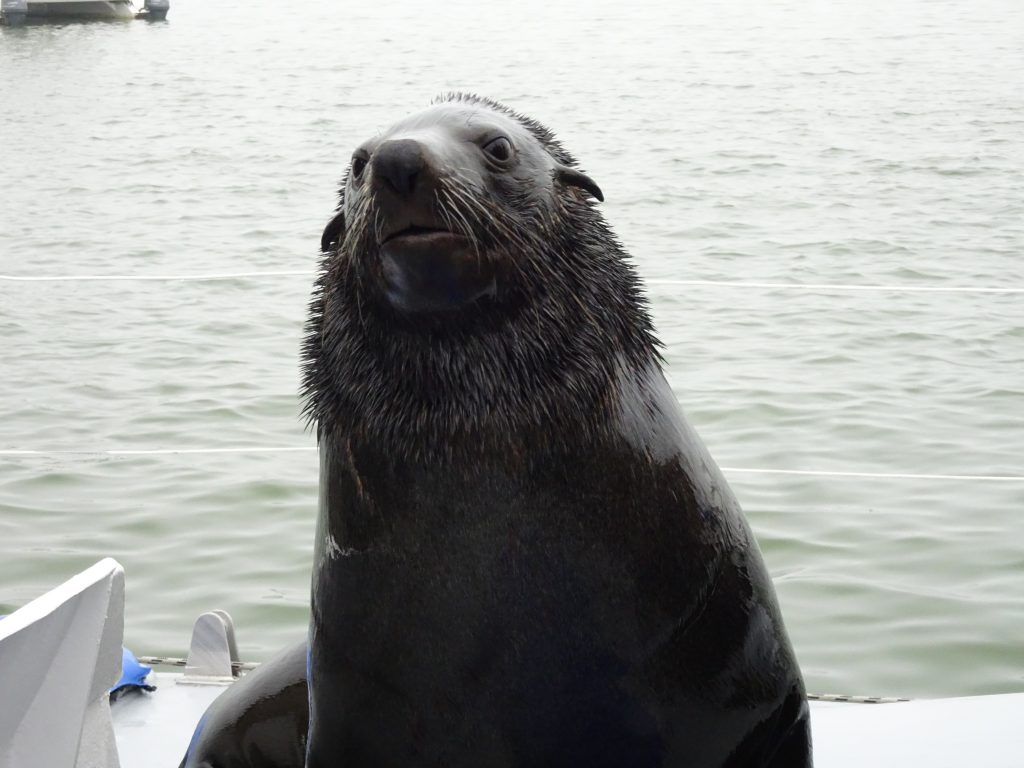 Wild Seal on the boat in Namibia