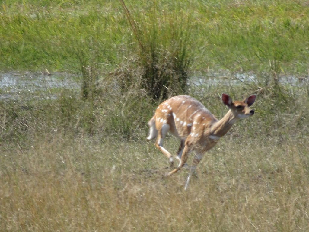 Sitatunga in Mahango - 2 weeks in Namibia