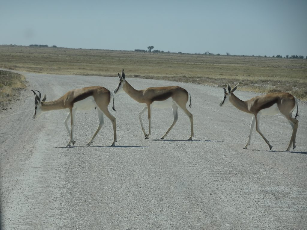 Springbock crossing the road in Etosha