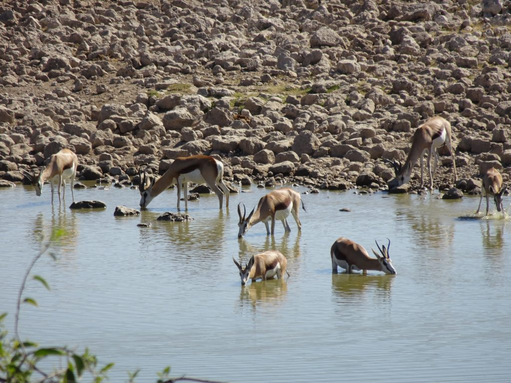 Springbock drinking water at Okaukuejo