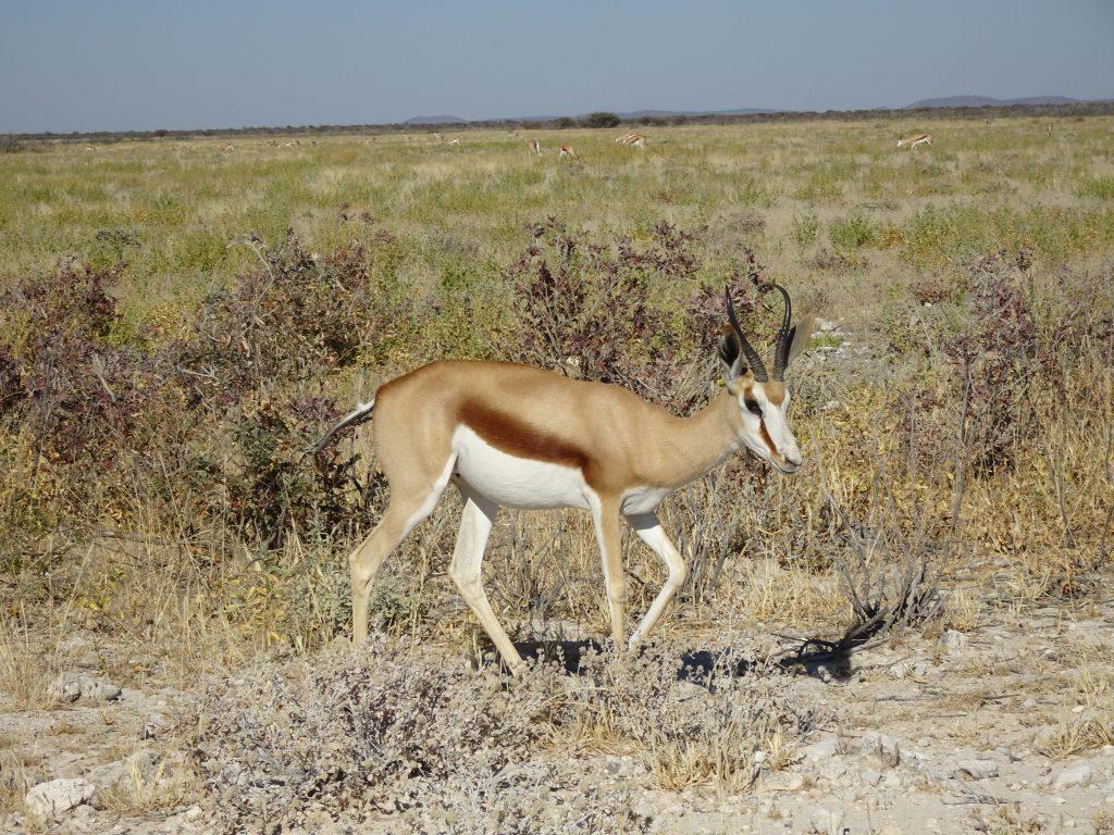 Springbock in Etosha