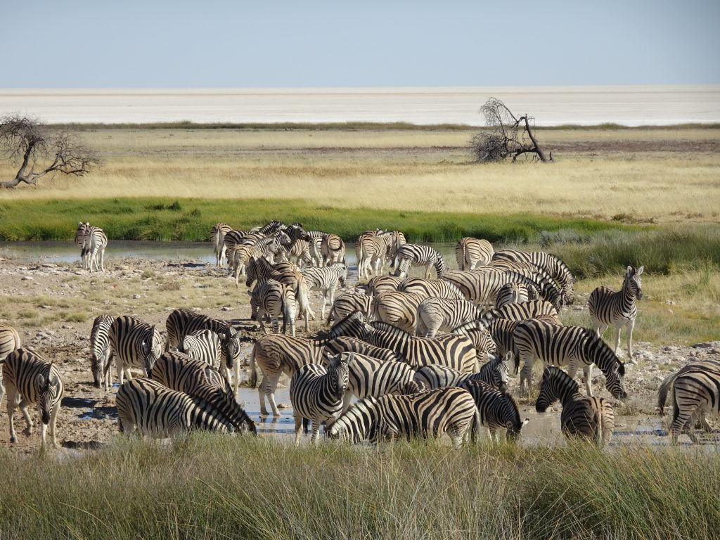 Tons of Zebras in Etosha in Namibia