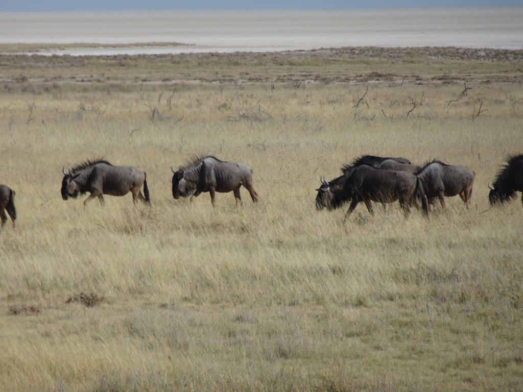 Wildebeest in Etosha in Namibia