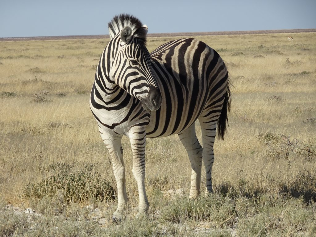 Zebra in Etosha National Park in Namibia