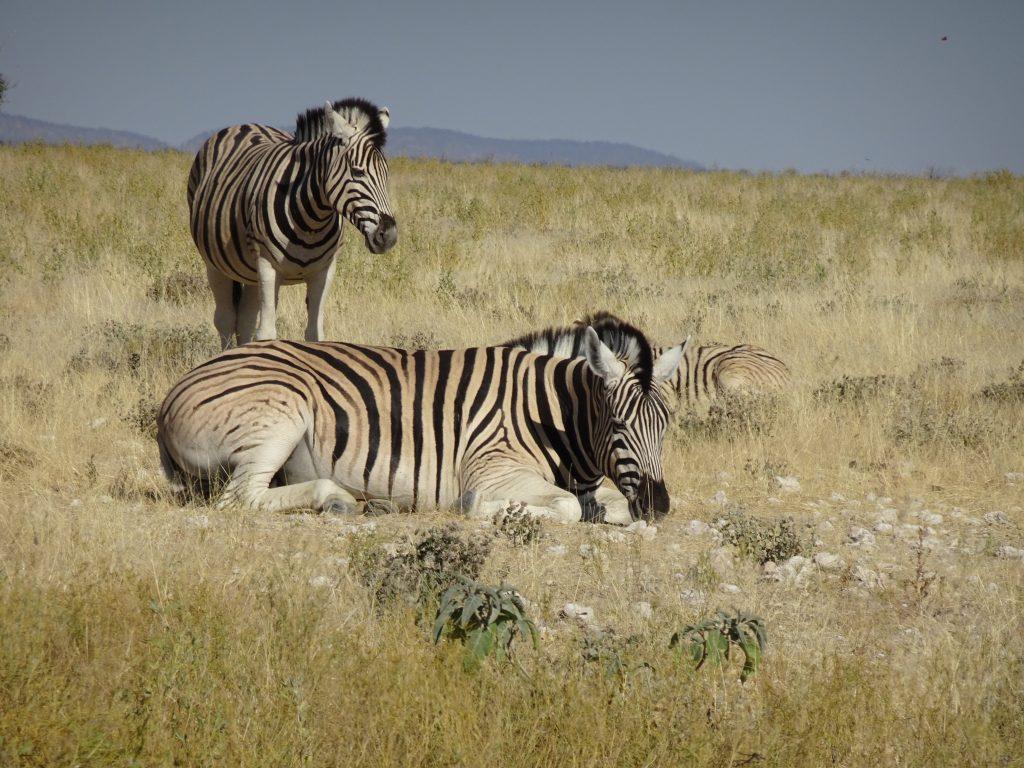 Zebra sitting in Etosha