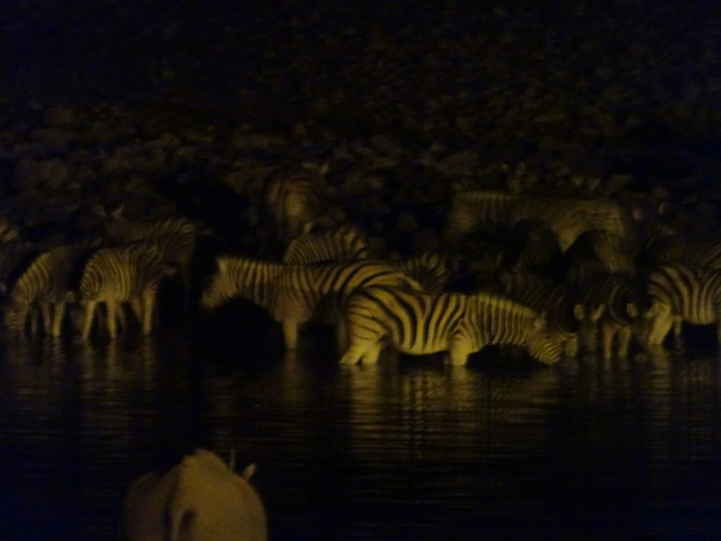 Zebras at Okaukuejo
