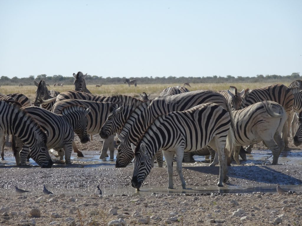 Zebras at Okondeka Waterhole