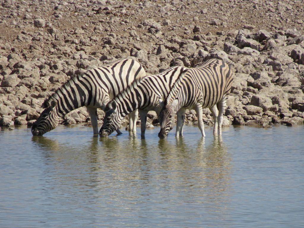 Zebras drinking water in Etosha in namibia